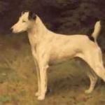 Glatthaar-FoxterrierGemaelde-von-Arthur-Wardle