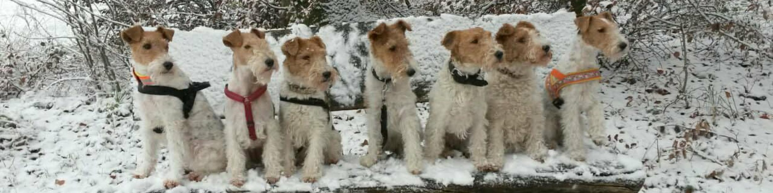 Deutscher Foxterrier-Verband e.V.